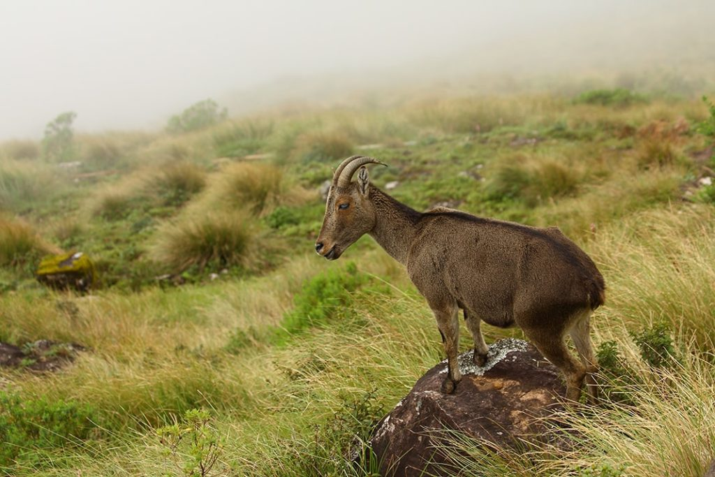 Nilgiri Thar @ Eravikulam National Park or Rajamalai